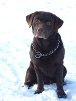 Labrador in Snow by DiveEleanorDive