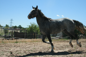 Blue Roan Stock 35 by tragedyseen