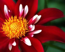 Crimson Dahlia by TruemarkPhotography