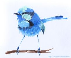 Splendid Fairywren by Carcaneloce