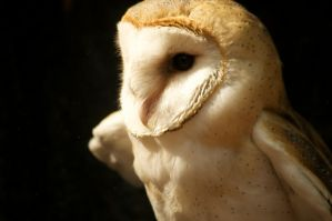 Surrey the Barn Owl by BlueFlamedPhoenix