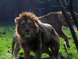 2011 - Asiatic lions 3 by Lena-Panthera
