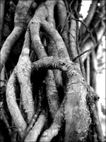 Strangler Fig by readysetdie