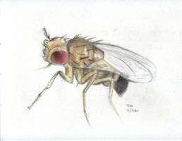 Drosophila melanogaster by Mordred-87