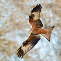 Through the trees  - Red Kite by Jamie-MacArthur