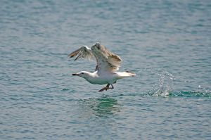 Seagull takeoff by agelisgeo