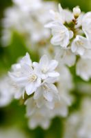 White Blossoms III by Vanell-Photography
