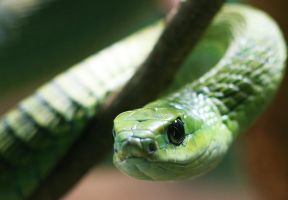 Boomslang by Left-turns