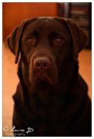 Chocolate Lab by laura-jd