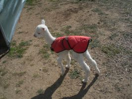 tiny baby paca by EnforcedCrowd
