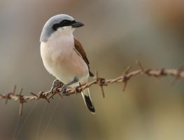 Red-backed Shrike by Jamie-MacArthur