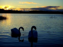And now this pale swan.. by R-o-b-a-n
