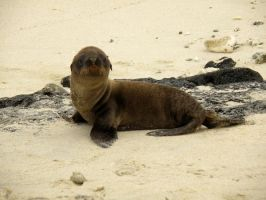 Sea Lion Pup by AfroDitee