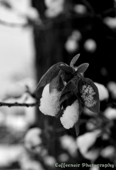 Leaves With Snow b and w by coffeenoir