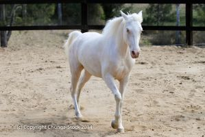Kr arabian cremello walk front view unicorn horse by Chunga-Stock