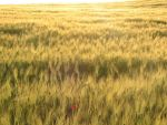 wheat sea by ironka
