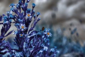 Bee on blue flower - hdr by yoctox