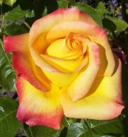 Red and Yellow Rose by sugarugly