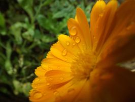 Marigold by Embrace-The-Night
