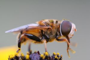 Drone hoverfly by bnnnboy