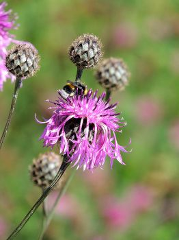thistle and a bee by setsun