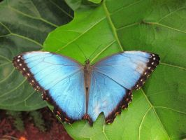 Blue Morpho Dorsal View 002 by death-pengwin
