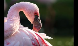 Lesser Flamingo III by moem-photography