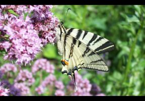 Iphiclides podalirius by PMeMe