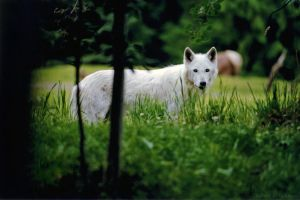 The White Wolf by robbobert
