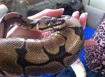 Alfie the Royal Python. by AmieLouiseThomas
