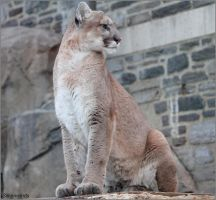 Cougar Photo Shoot 6 by SilkenWinds