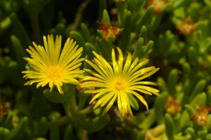 Yellow Ice Plant by PatGoltz