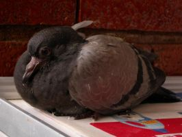 Pichi, baby pigeon by kanon-II