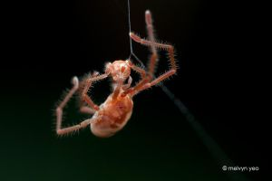 Long-Legged Velvet Mite eating spider egg sac? by melvynyeo
