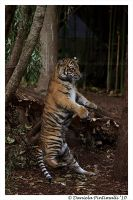 Baby Tiger Dance by TVD-Photography