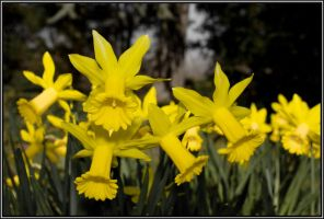 """daffodils """"Ostergloeckchen"""" by andreasbf"""