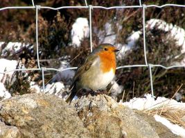Red Robin of the Snow by Labrug