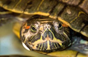 Turtle by StephGabler