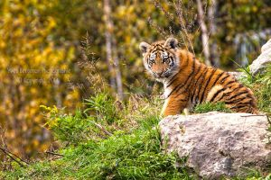 Kouma The Tigress II by Sagittor