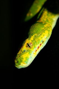 green tree python 02 by psychoticism