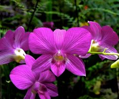 Purple Orchids by AquarianPhotography