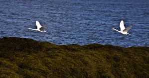 Swanning Across The River by DundeePhotographics