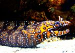 The Dragon Moray Eel Returns by sapphiresphinx