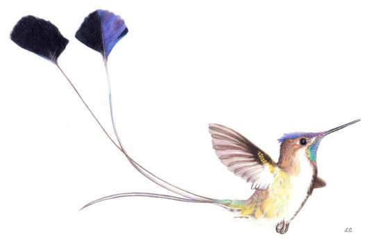 Marvellous Spatuletail Hummingbird by Serenyan