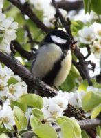 great tit with spider by marob0501