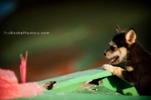 Puppy by frankrizzo