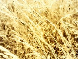 The Wheat by Ithaedral