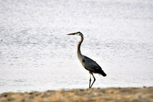 The Heron by jhg162