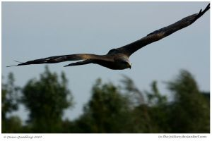 Black Kite Flying by In-the-picture