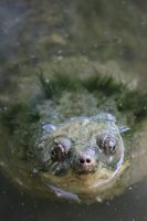 Snapping Turtle2 by Lynxwing